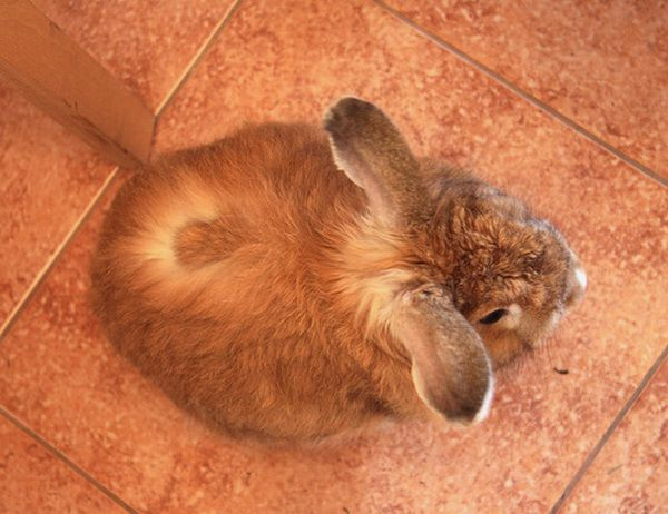 Микроспория у кролика