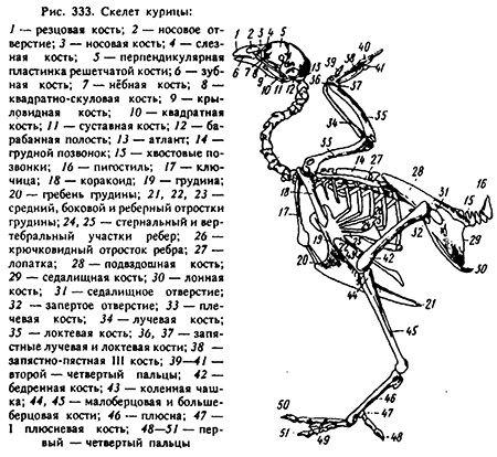 Грудная кость указана на рисунке под № 19