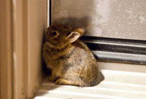 Напуганный кролик будет стараться спрятаться