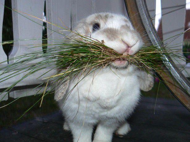 Сено и трава - польза для кроликов