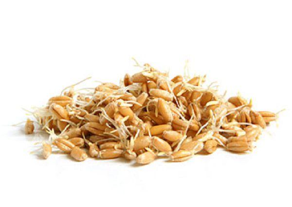 С проращиванием пшеницы справится даже новичок