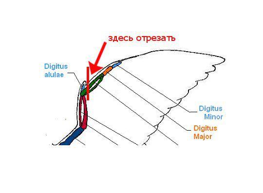 Схема проведения операции по подрезанию птичьего крыла