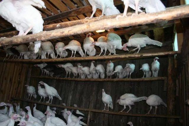 Насесты для индеек можно делать на высоте до 1,5 метров – птицы смогут взлететь на них без труда