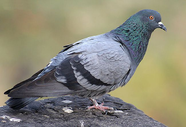 Молодой самец сизого голубя