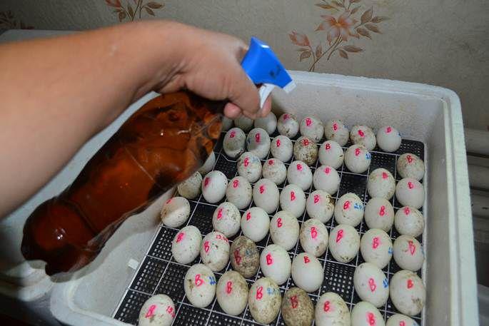 Обработка яиц средством для очистки