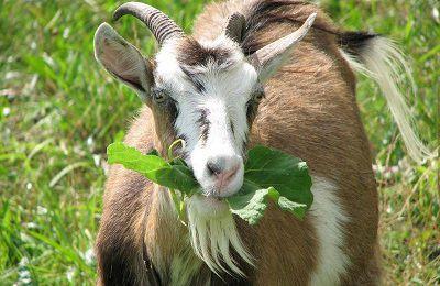 Козы любят ботву овощей