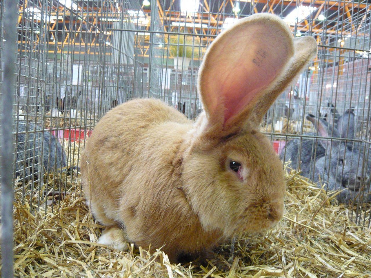 Племенной кролик на выставке