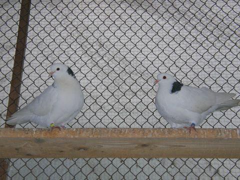 У каждой породы голубей существуют свои стандарты внешнего вида