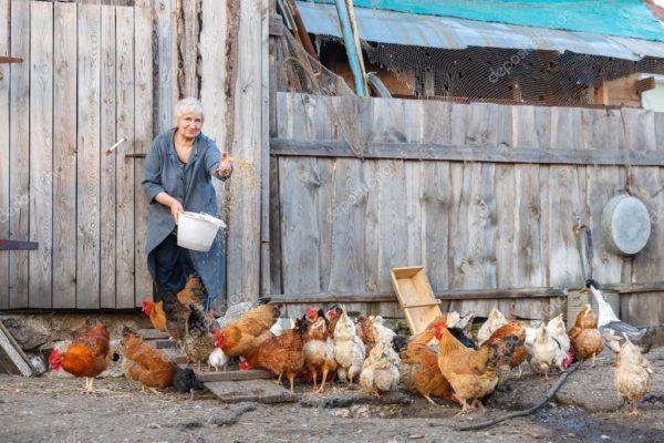 Кормление кур на домашней ферме