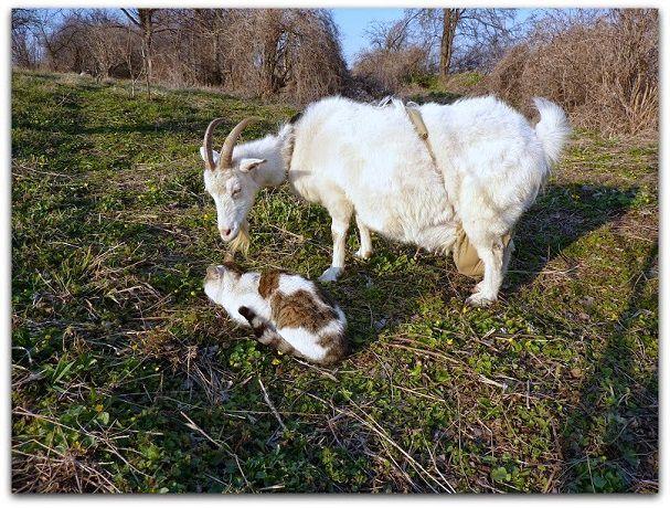 Бюстгальтер для козы из детских колготок делается за пять минут