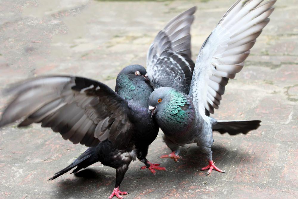 Брачный танец голубей.