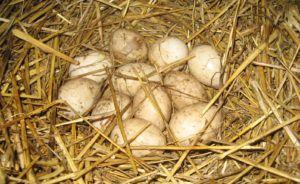 Грязные яйца можно вытереть перекисью водорода