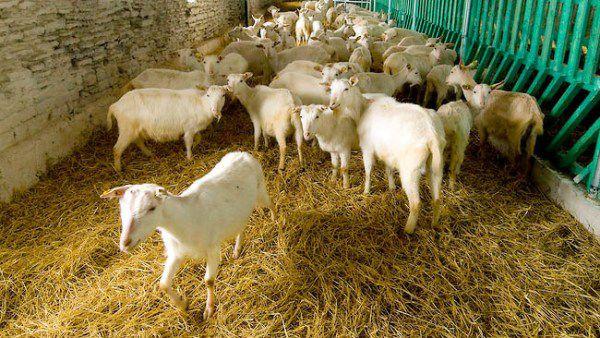 Настил из сена для коз