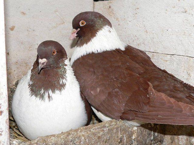 Голубь и голубка в гнезде