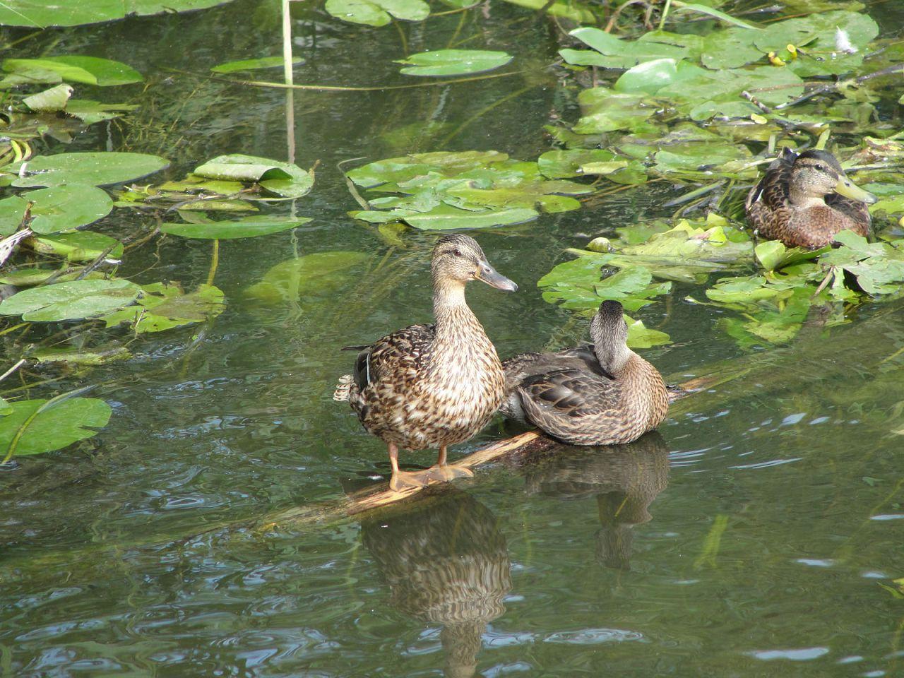 Дикие утки находят себе корм самостоятельно в прудах