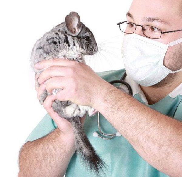 Если вы так и не научились определять пол шиншиллы самостоятельно, обратитесь за помощью к ветеринару