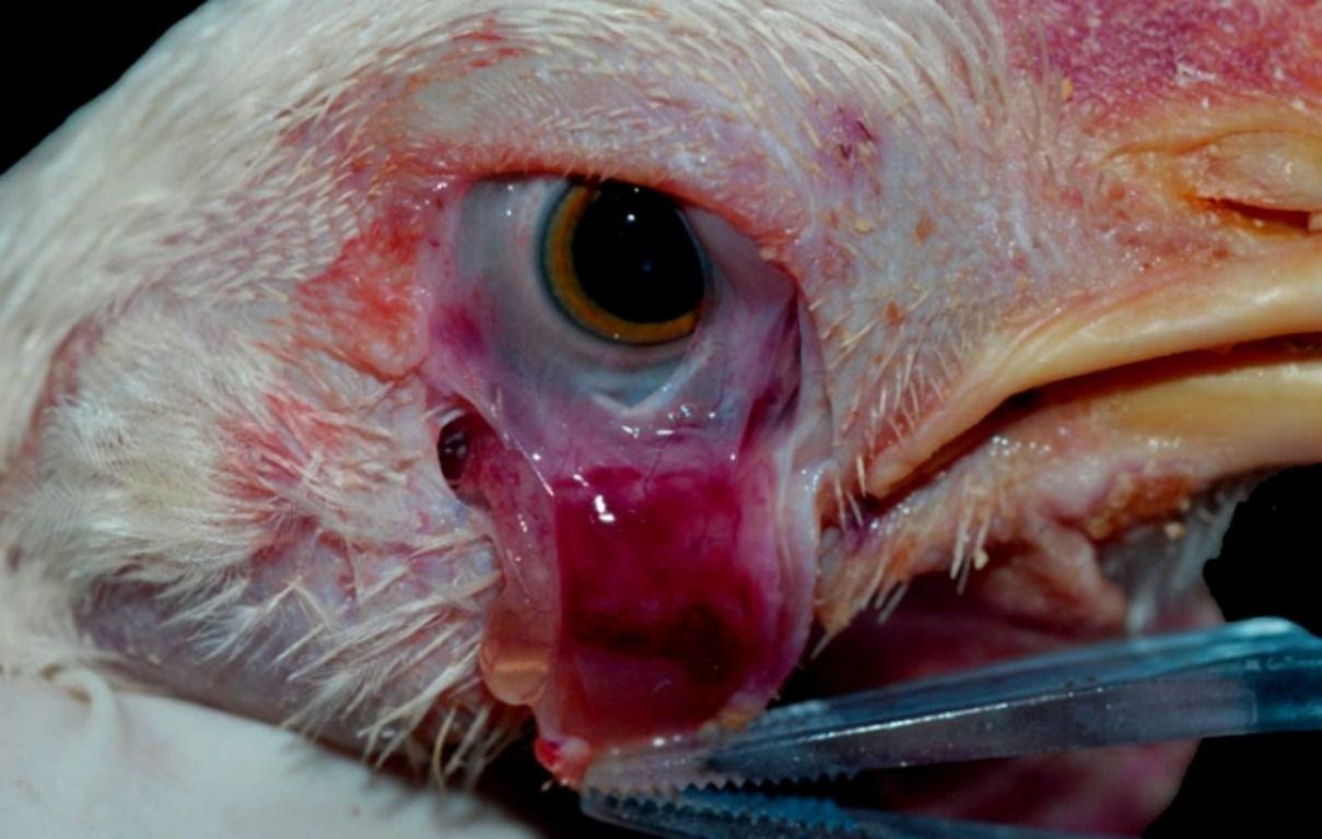 Болезнь Ньюкасла — одно и множества неизлечимых куриных заболеваний