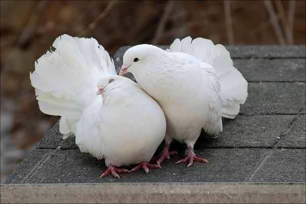 Воркующая пара павлиньих голубей.