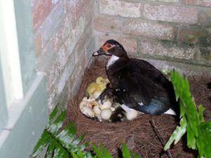 Индоутка в процессе вылупления птенцов