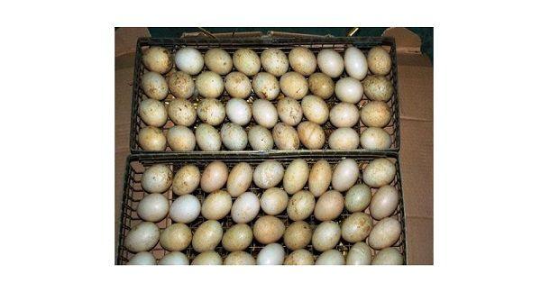 Яйца цесарки в инкубаторе