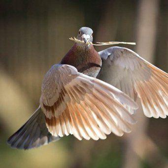 Самец собирает необходимый материал для строительства семейного гнезда