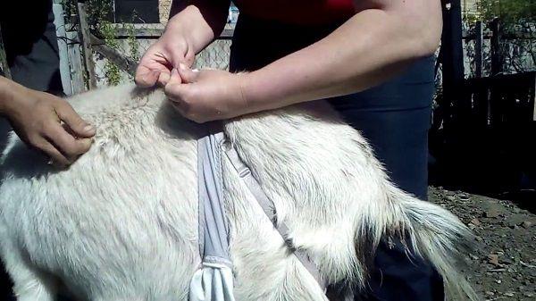 Закрепите бюстгальтер на спине у козы с помощью лямок