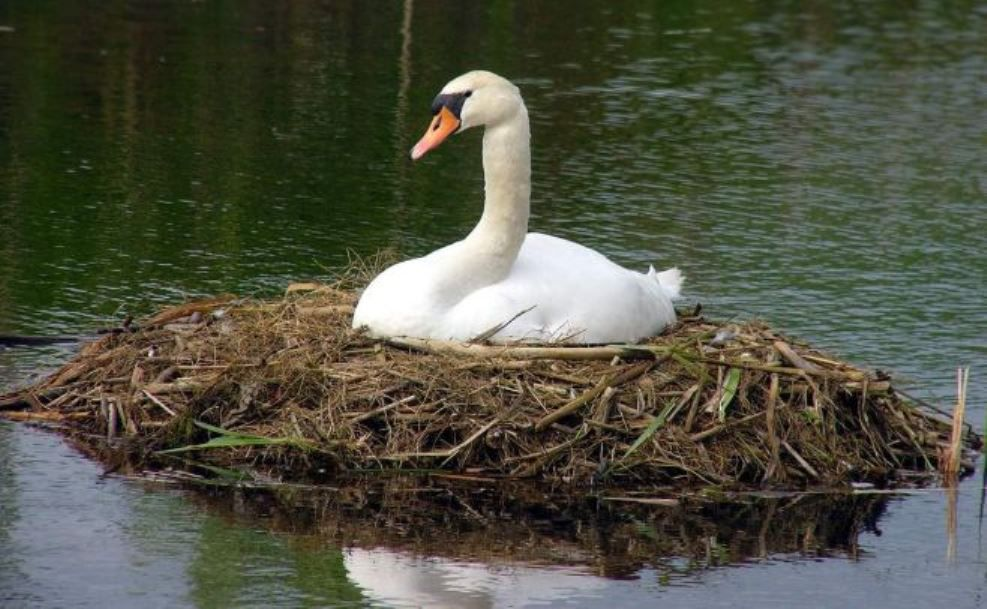 Самка лебедя высиживает птенцов