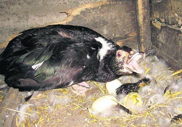 Индоутка защищает гнездо