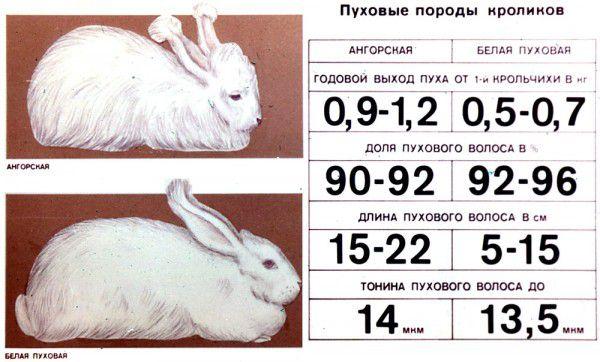 Пуховые породы кроликов (в сравнении)