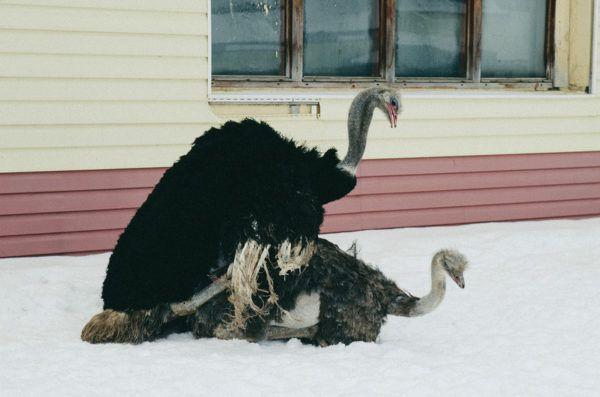 Спаривание страусов на ферме
