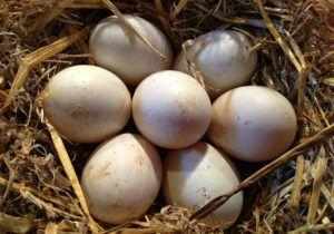 Одна наседка способна высидеть до 15 яиц