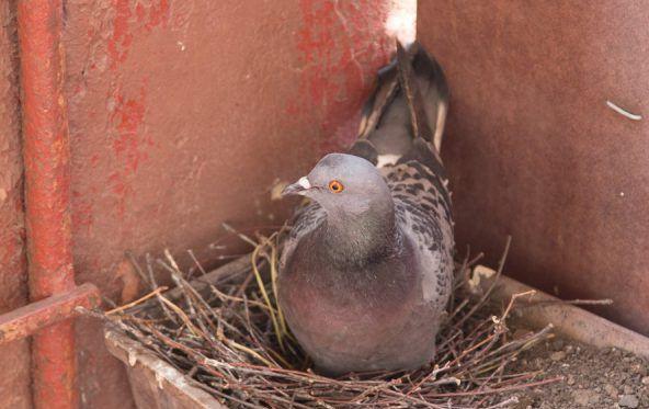 Самец приносит ветки и сено, а самка занимается укладкой материалов