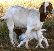 Измажьте вымя козы навозом, и козленок не прикоснется к нему