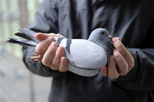 Как правильно держать голубя.