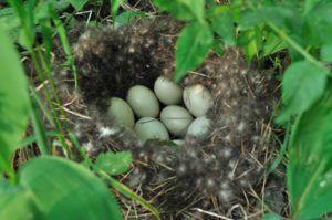 Гнездо дикой утки - прекрасный пример, как нужно делать гнездышки домашних птиц