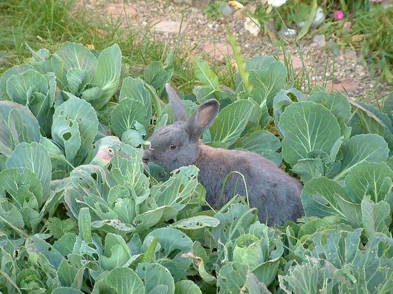Капуста влечет за собой вздутие живота у кроликов