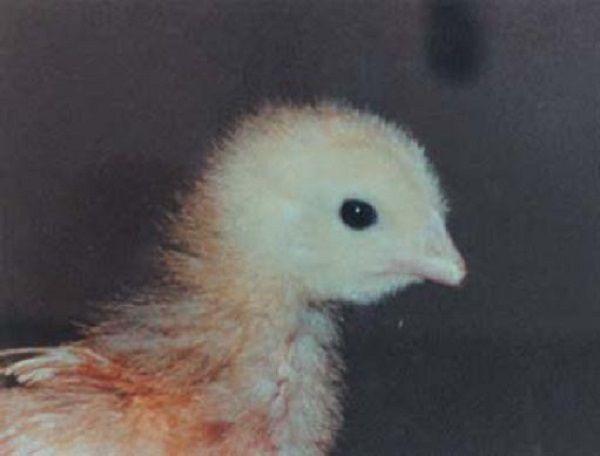 Цыплятам отсекают часть клюва еще в инкубаторе