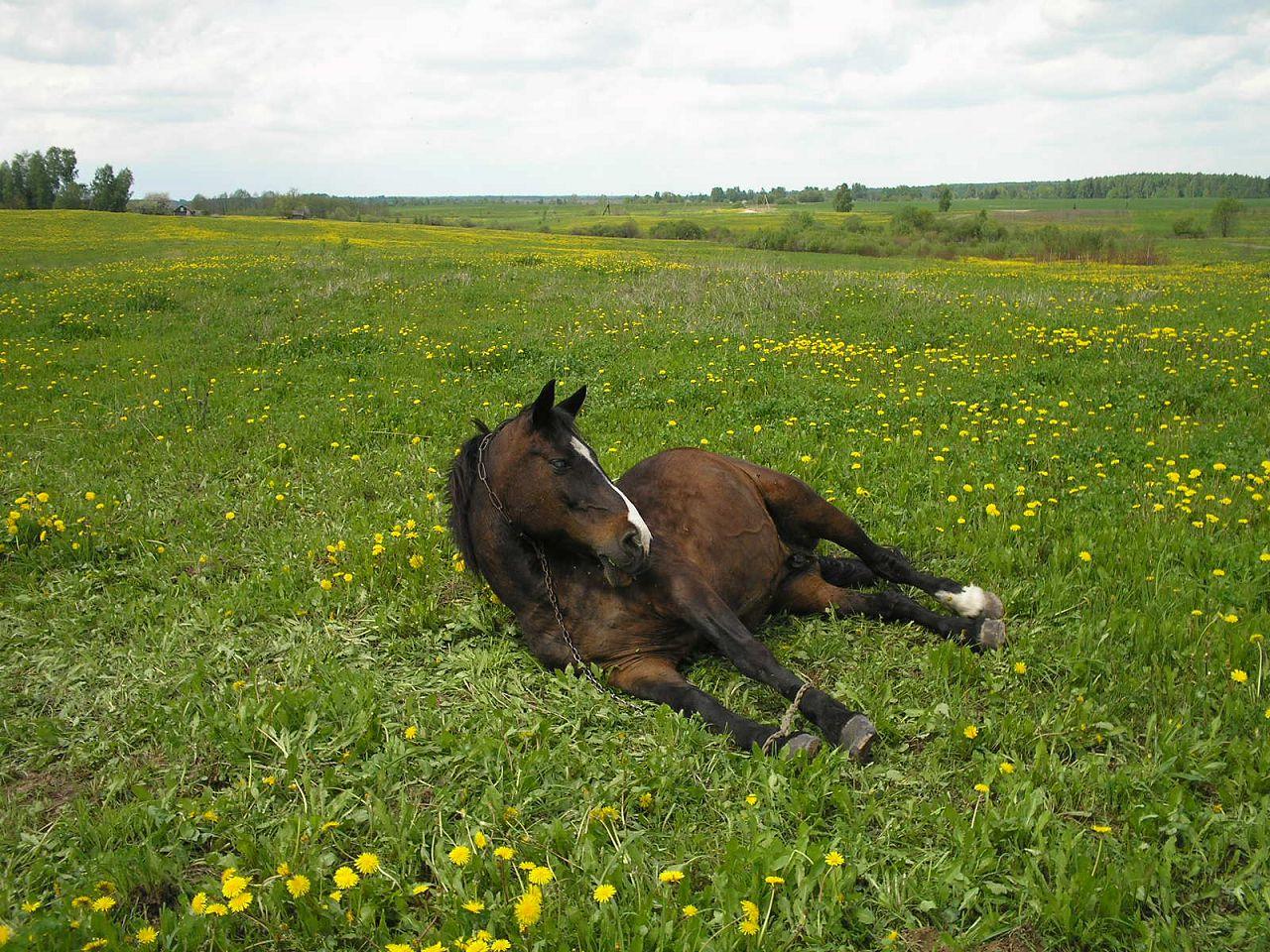 Не позволяйте лошади работать сразу после кормления