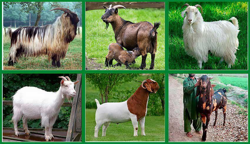 Виды коз