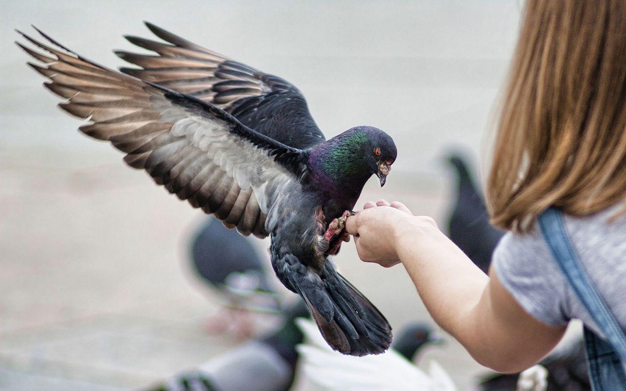 Взрослый самец сизого голубя. Обратите внимание на металлический окрас перьев в области шеи, массивный клюв и высокую лобную часть головы.