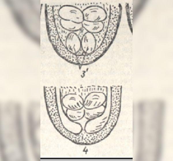 Гениталии суточных индюков. №3 - самец, № 4 -индюшка
