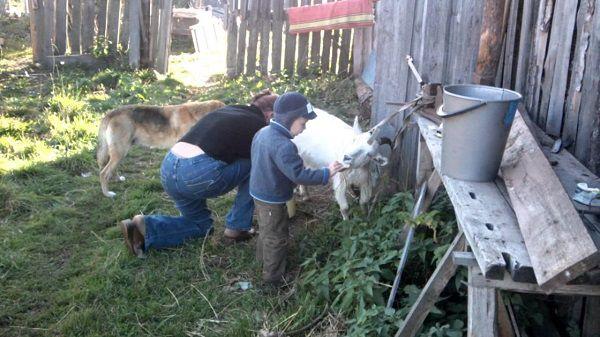 Подготовка козы к дойке начинается с массажа