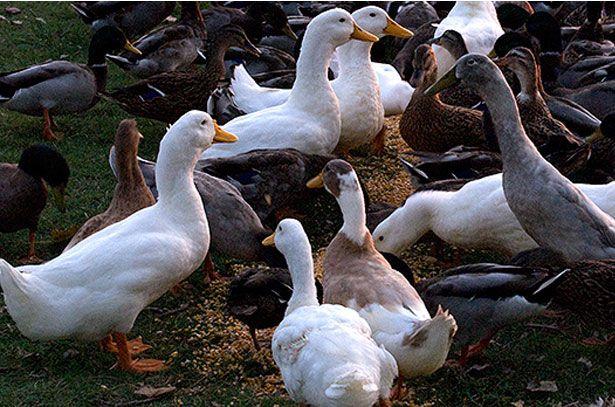 Злаковые – основа питания любой домашней птицы