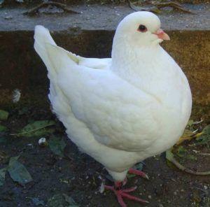 У голубей породы кинг окрас перьев может быть любым, но особенной популярностью пользуется мясо белоснежных птиц