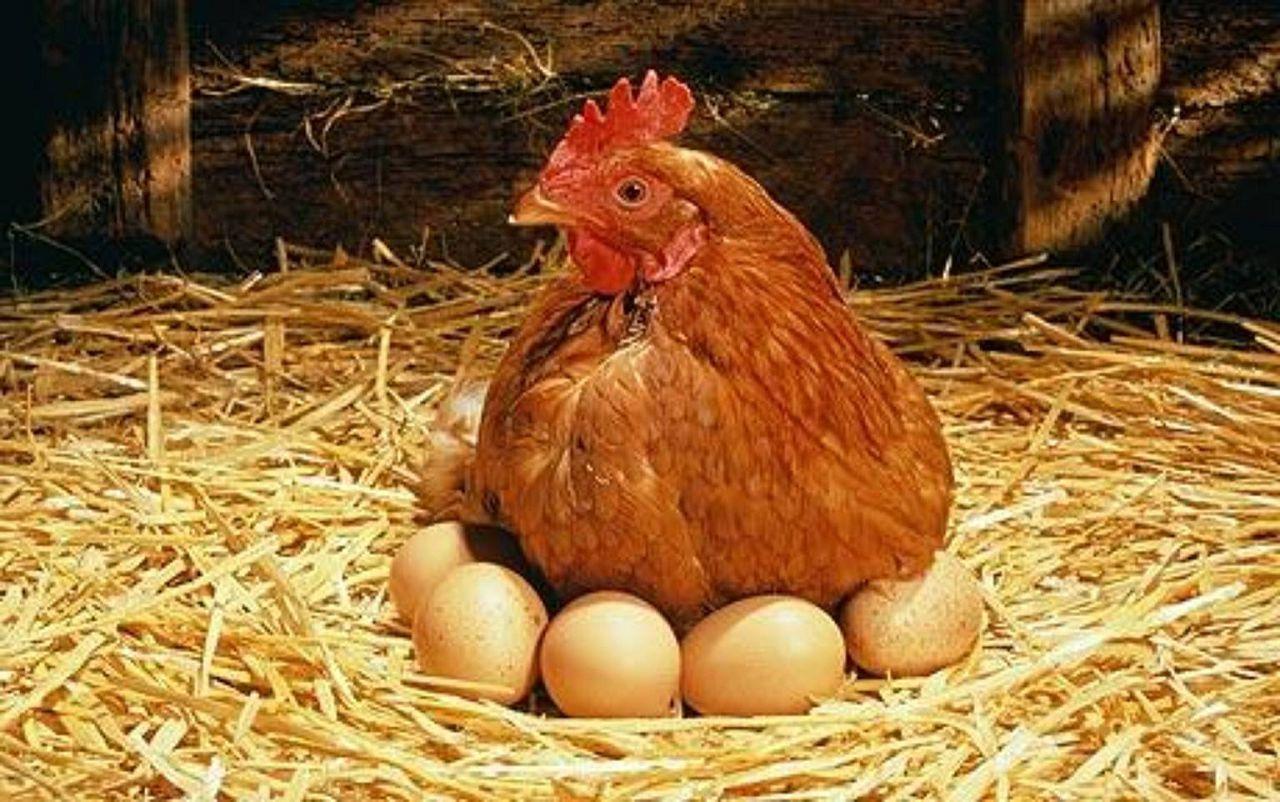 Курицам необходимы комфортные условия для кладки яиц