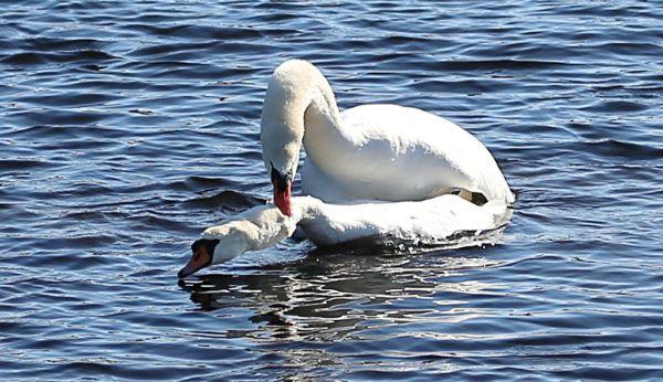 Спаривание лебедей в водоеме