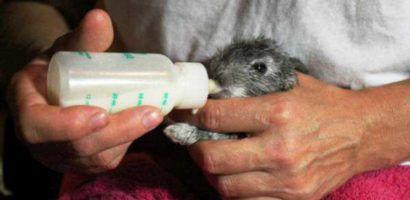 Старших крольчат кормят из обычной соски