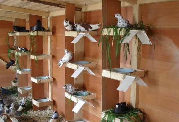 Голубки высиживают птенцов в обустроенных гнездах