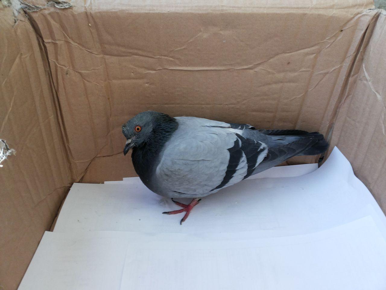 Поймать голубя в коробку достаточно легко
