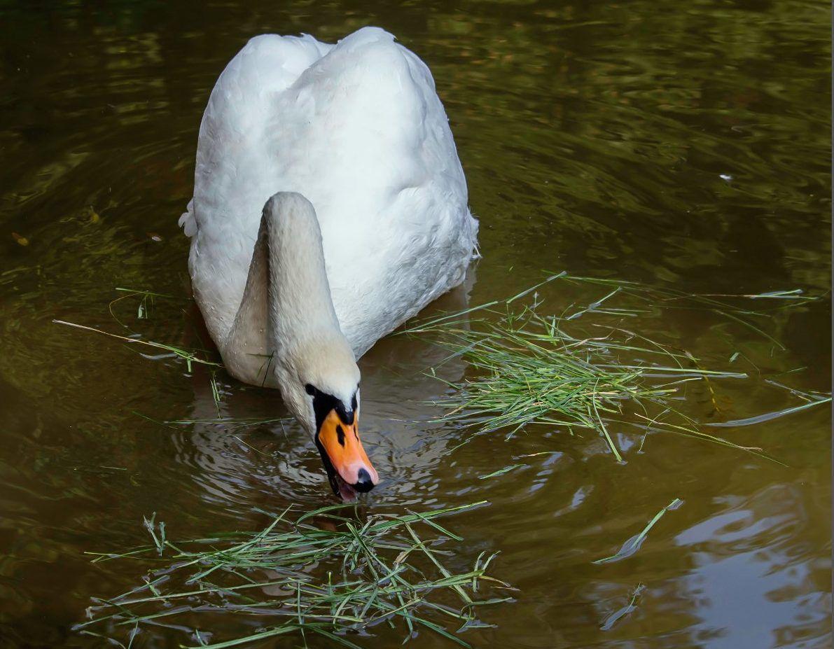 Лебеди предпочитают растительную пищу – водоросли, ряску